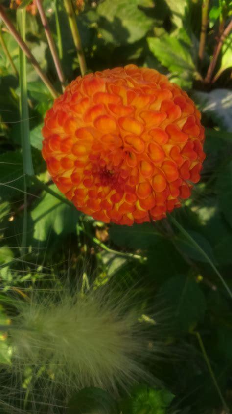 Britzer Garten Feuerwerk by Dahlienfeuer Im Britzer Garten Kurzmalweg