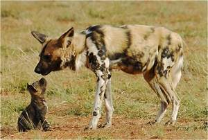 African Wild Dog - Facts, Pictures, Rescue, Life Span ...