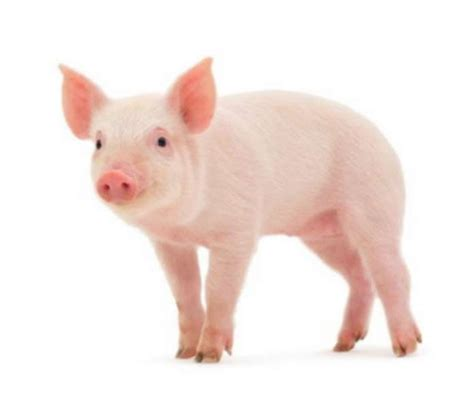cuisiner sans viande quelle viande de porc acheter la tendresse en cuisine