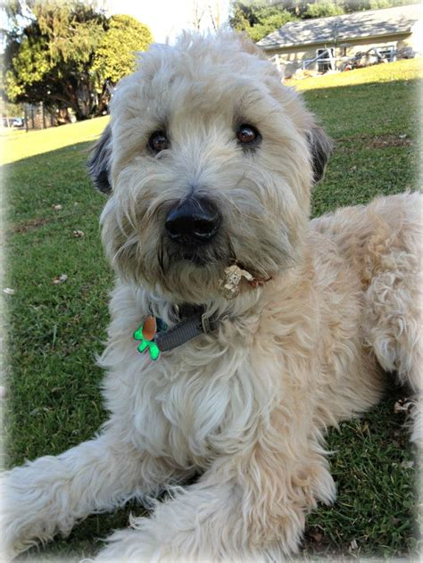 wheaten terrier soft coated dog puppies dogs wheaton terriers hair puppy haircut breed ever sweetest vs cutest d0 f0 breeds