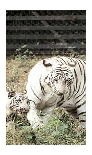 Delhi Zoo's white tiger, who mauled man to death, fathers ...