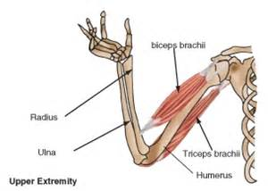 Muscles in Muscular System Arm