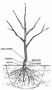 Growing Apple Trees for Deer Food Plots – The Wildlife Group