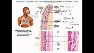 Respiratory Mucosa Nose Pharynx