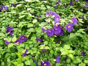 edible flower shop thunbergia erecta king 39 s mantle