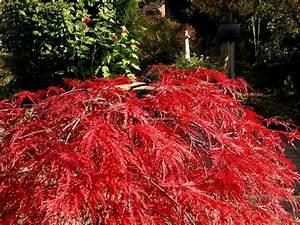 Roter Japanischer Ahorn : galerie gisela und uwe ~ Frokenaadalensverden.com Haus und Dekorationen
