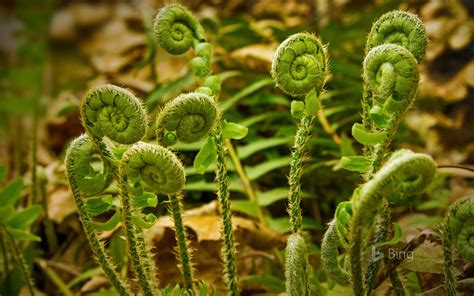fiddlehead ferns fiddlehead ferns at valley falls park in vernon connecticut 169 holcy getty images bing