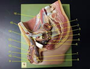 Male Reproductive System Vas Deferens Model