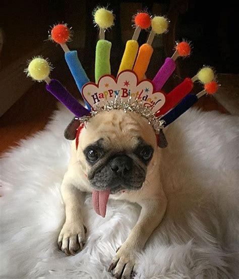 Happy Birthday Pug Meme - birthday pug party pugs pinterest birthday pug pug and happy birthday