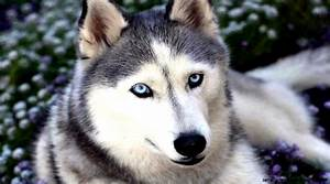 Cute Siberian Husky Puppy Wallpaper | Amazing Wallpapers