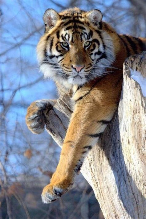 Beautiful Tiger Picswithastory Big Cats Pinterest