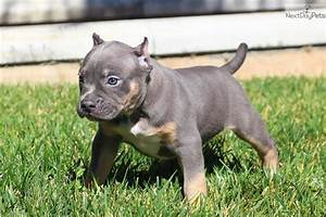 American Bully puppy for sale near Inland Empire ...