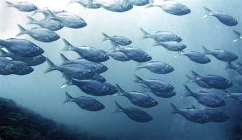 fish   month hawaiian flagtails kuhlia xenura