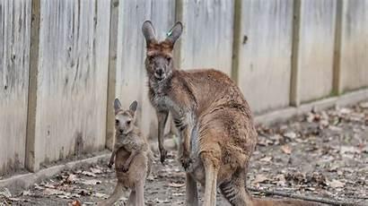 Kangaroo Park Zoo Joey Zoos