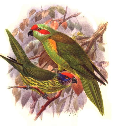 goldies lorikeet psitteuteles goldiei jgke