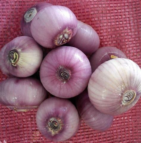 asy enterprise onion supply garlic bawang putih wholesale