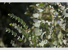 Eucalyptus Globulus, Organic Essential Oil Uses and Benefits
