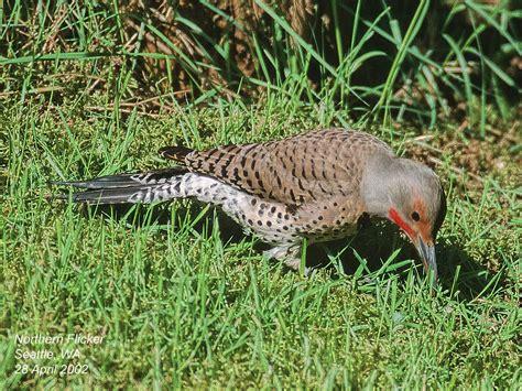 northern flicker woodpecker diet www imgkid com the