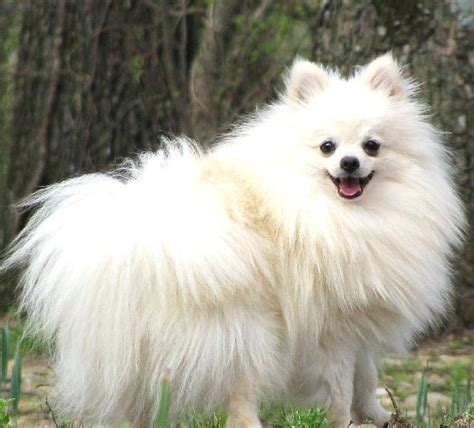 white pom cute dogs beautiful dogs pomeranian