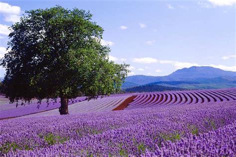 Bilder Mit Lavendel by Bridestowe Lavendel Farm Ein Leben Im Lavendelduft