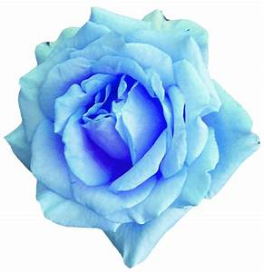 Sky Blue Rose 2 by jeanicebartzen27 on DeviantArt