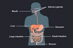The Diagram Is Of The Human Digestive System And Labels Of