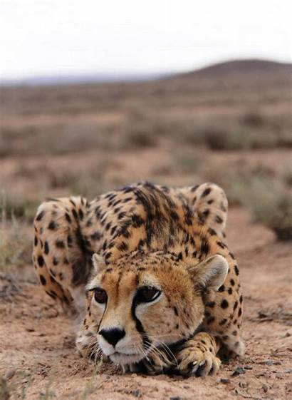 Animals Cheetah Cats Wild Cheetahs International Basteln