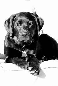 Labs, Labradors and Black labrador on Pinterest
