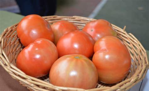 noticia ucr entrega al pais nueva variedad de tomate