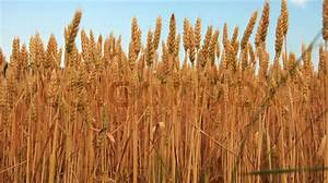 Yellow wheat plant on field over blue sky | Stock Photo ...