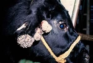 Бородавки на дойках у коровы лечение