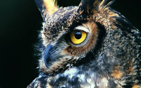 Hd Owl Wallpapers by Owl Wallpapers Best Wallpapers