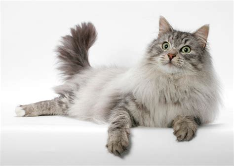 largest cat breeds photo gallery