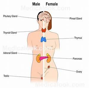 Diagram Endocrine Glands