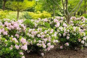 Alternative Zum Buchsbaum : rhododendron 39 bloombux 39 buchsbaumersatz ~ Frokenaadalensverden.com Haus und Dekorationen