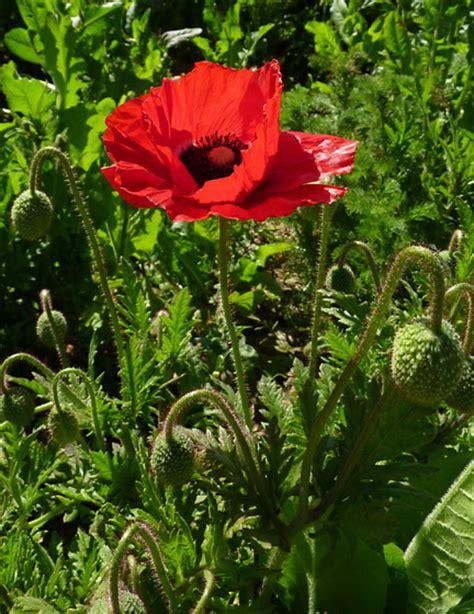 flowers poppies poppy flower red california golden poppies flowers