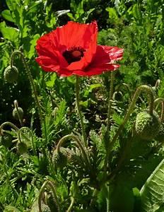 Poppy Flower - Red, California, & Golden Poppies Flowers