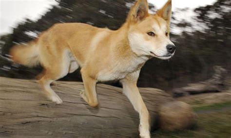 Austrālijas dingo varētu būt pasaules vecākais suns ...