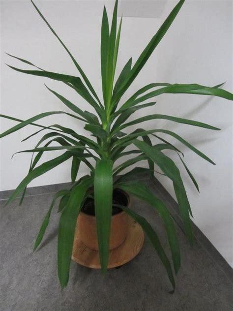 Große Zimmerpflanzen Kaufen by Gro 223 E Zimmerpflanzen Gebraucht Kaufen Nur 3 St Bis 75