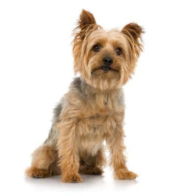 groom silky yorkie terriers pets