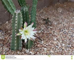 Cactus Sans Epine : cactus clatant de jardin de les plus populaires de l ~ Melissatoandfro.com Idées de Décoration