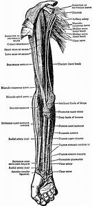 Muscles On The Front Of The Arm And Forearm