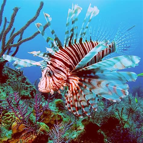 lionfish fish florida lion fishing reefs imports bans state hunting military waffles buckwheat chocolate underwater them reef wide