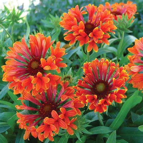 flowers all summer vibrant perennial flowers that bloom all summer blanket perennials and flower