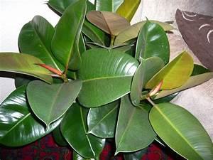 Grande Plante D Intérieur Facile D Entretien : le caoutchouc ficus elastica est une belle plante verte ~ Premium-room.com Idées de Décoration