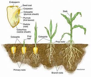 Monocot Germination - Corn Seedling : : Carlson Stock Art
