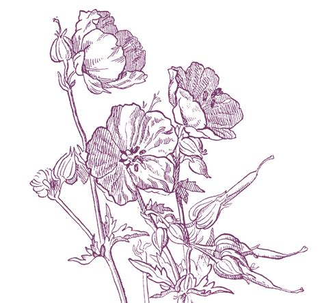 beautiful wild geranium drawing  options  graphics fairy