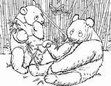 Coloring Panda Bamboo Giant Urs Eating Bear Habitat Colorat Animal Planse Kolorowanki Bamboos Colouring Dzieci Dla Adult Pandas Zoo China sketch template