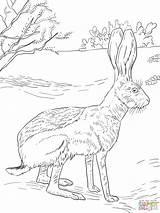 Coloring Rabbit Jack Antelope Drawing Jackrabbit Bunny Super Canyon Grand Hares Supercoloring Animal Colouring 1536 Printable Sections Burros Getdrawings Drawings sketch template