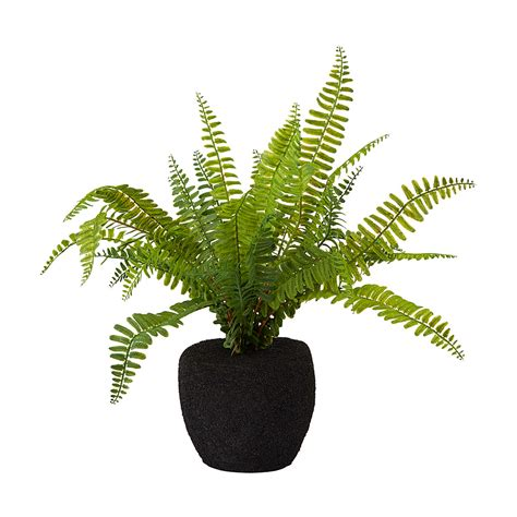small fern plants potted fern small hire society